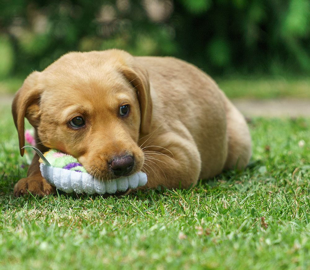 puppy dog lying in the garden with a chew toy